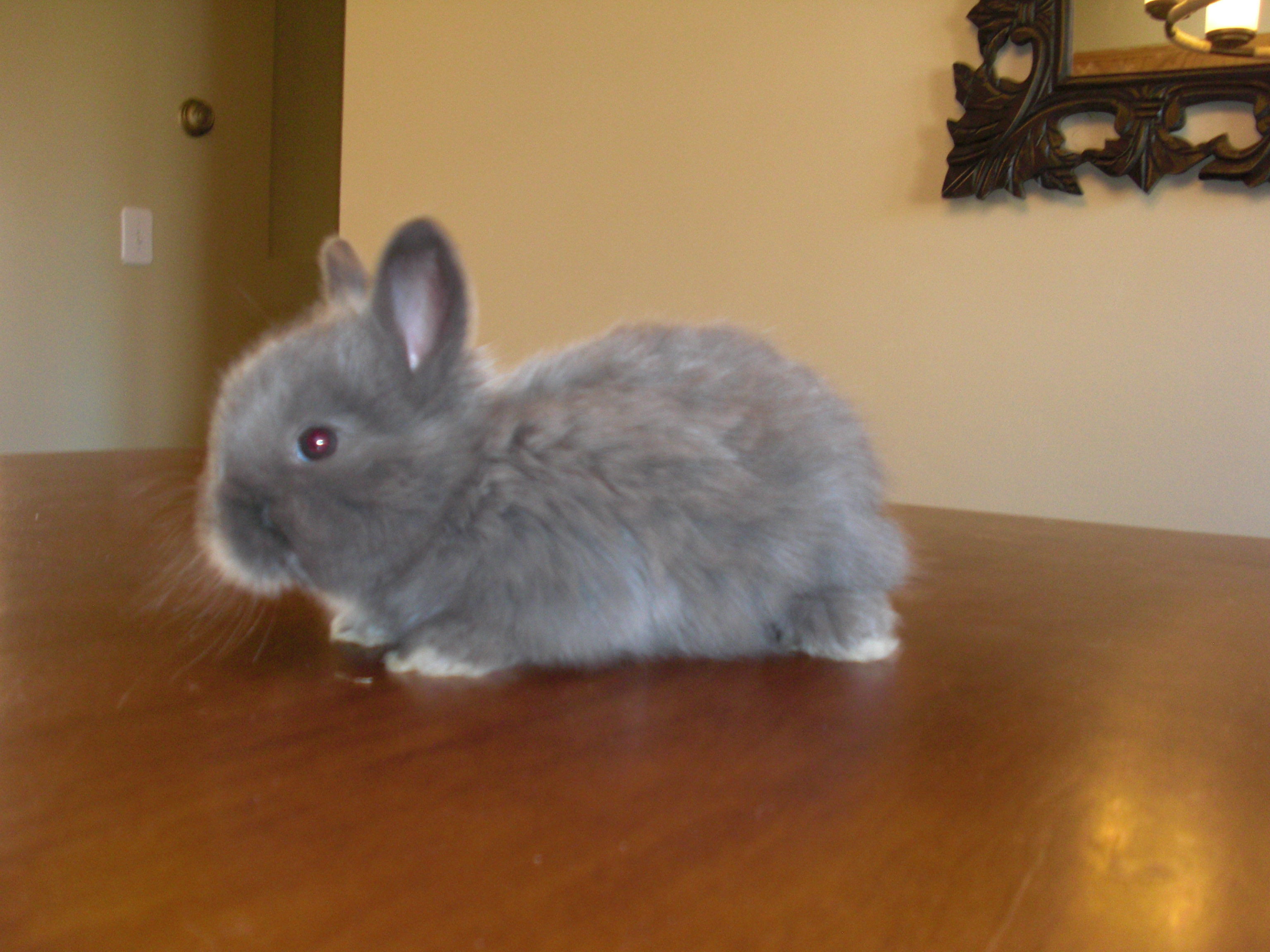English Angora and Satin Angora Rabbits