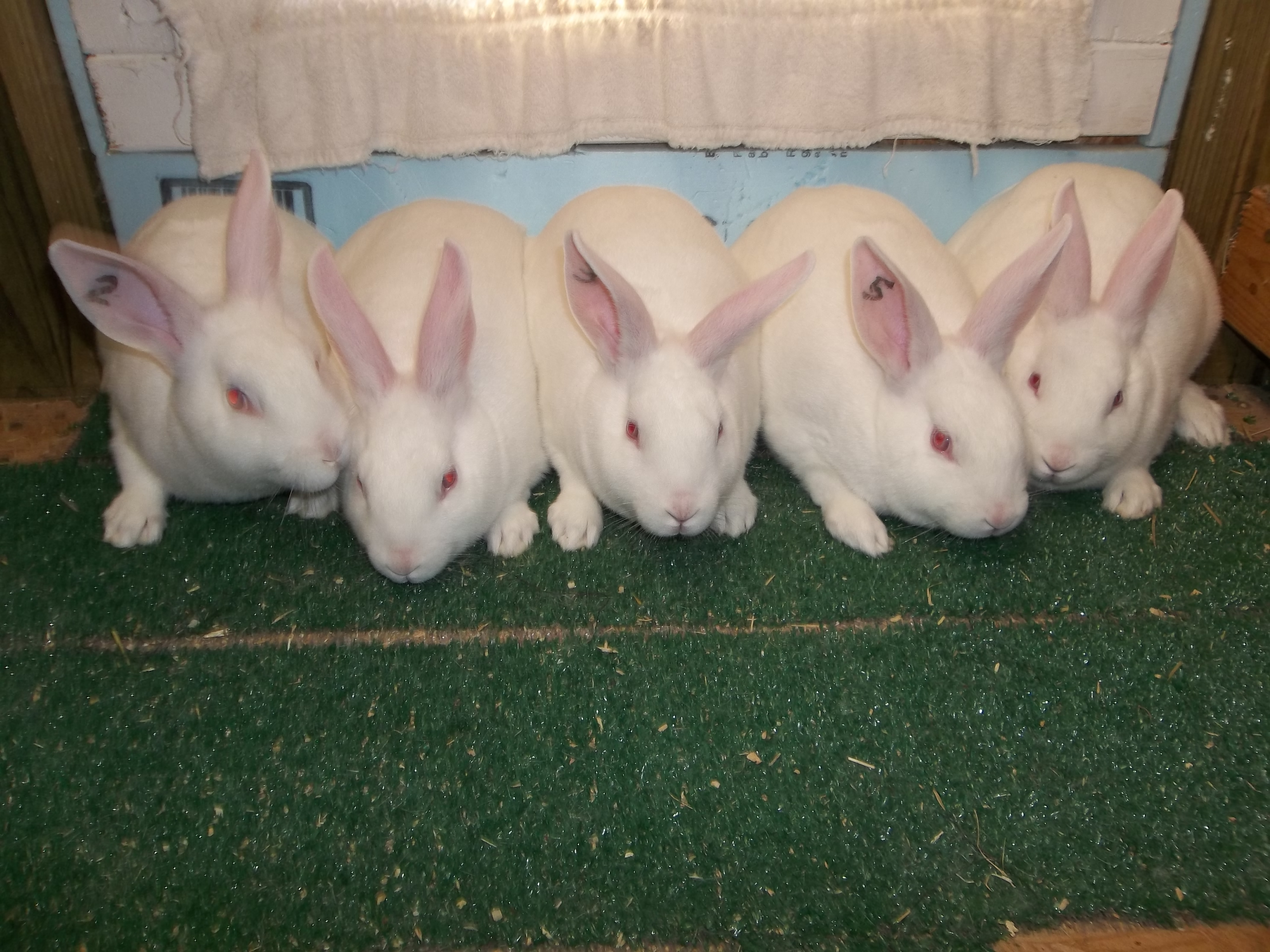 New Zealand Rabbits