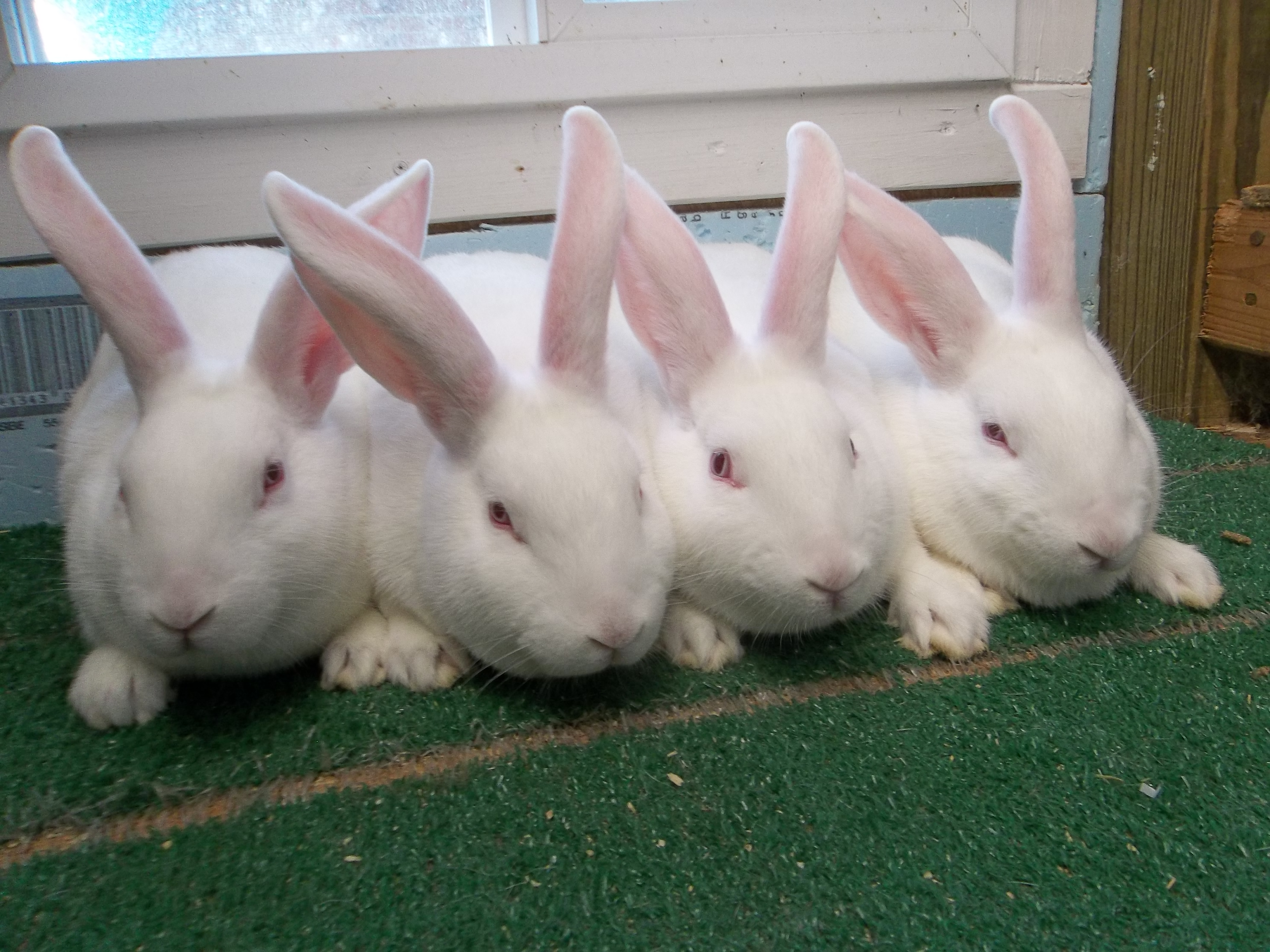 New Zealand Male Rabbits available in Forney Texas. | USA Rabbit ...