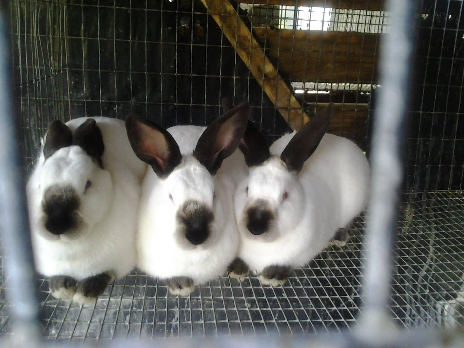 Californians, Netherland Dwarfs, Dwarf Hotots Rabbits