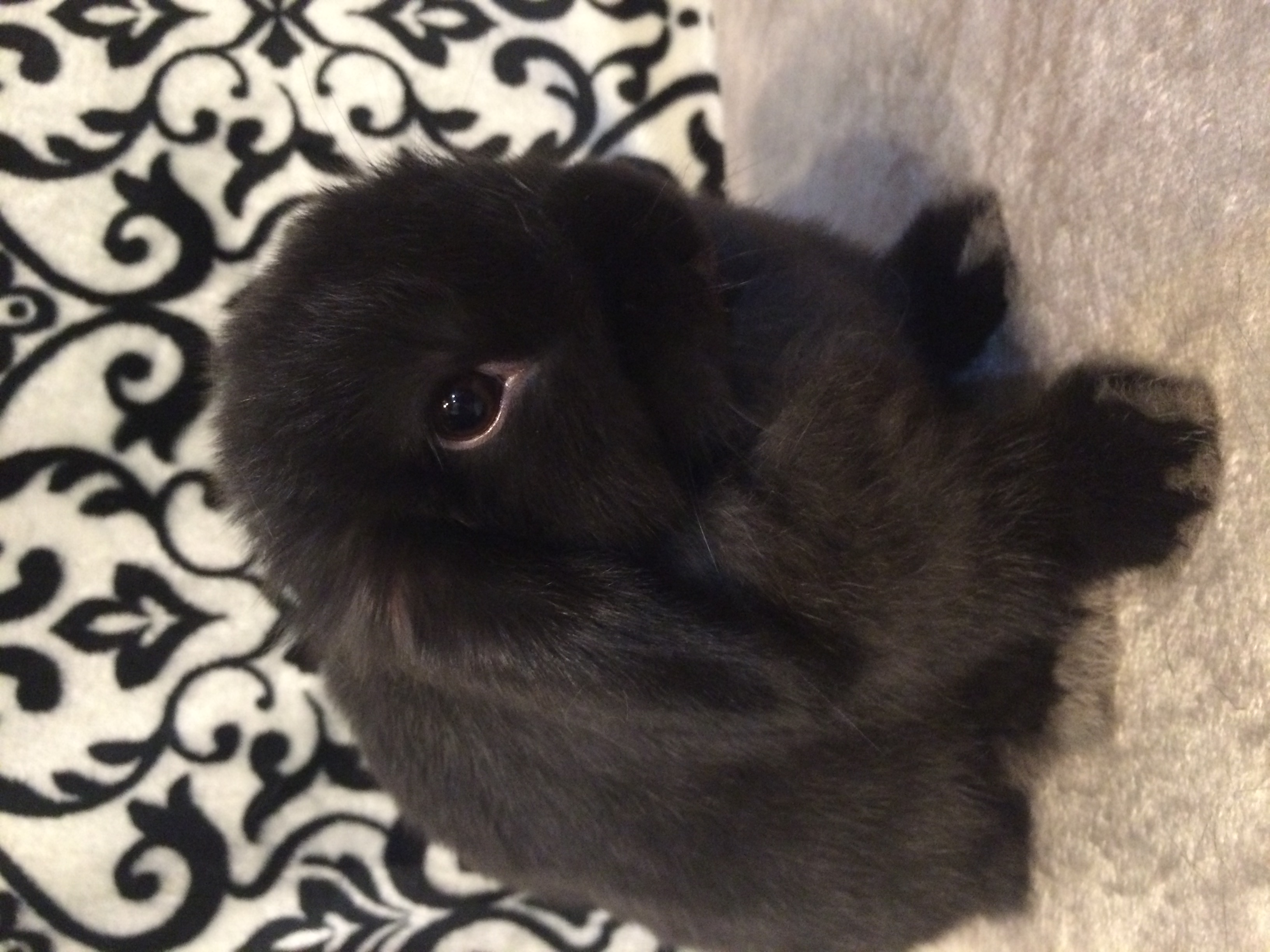 Holland Lop Rabbits