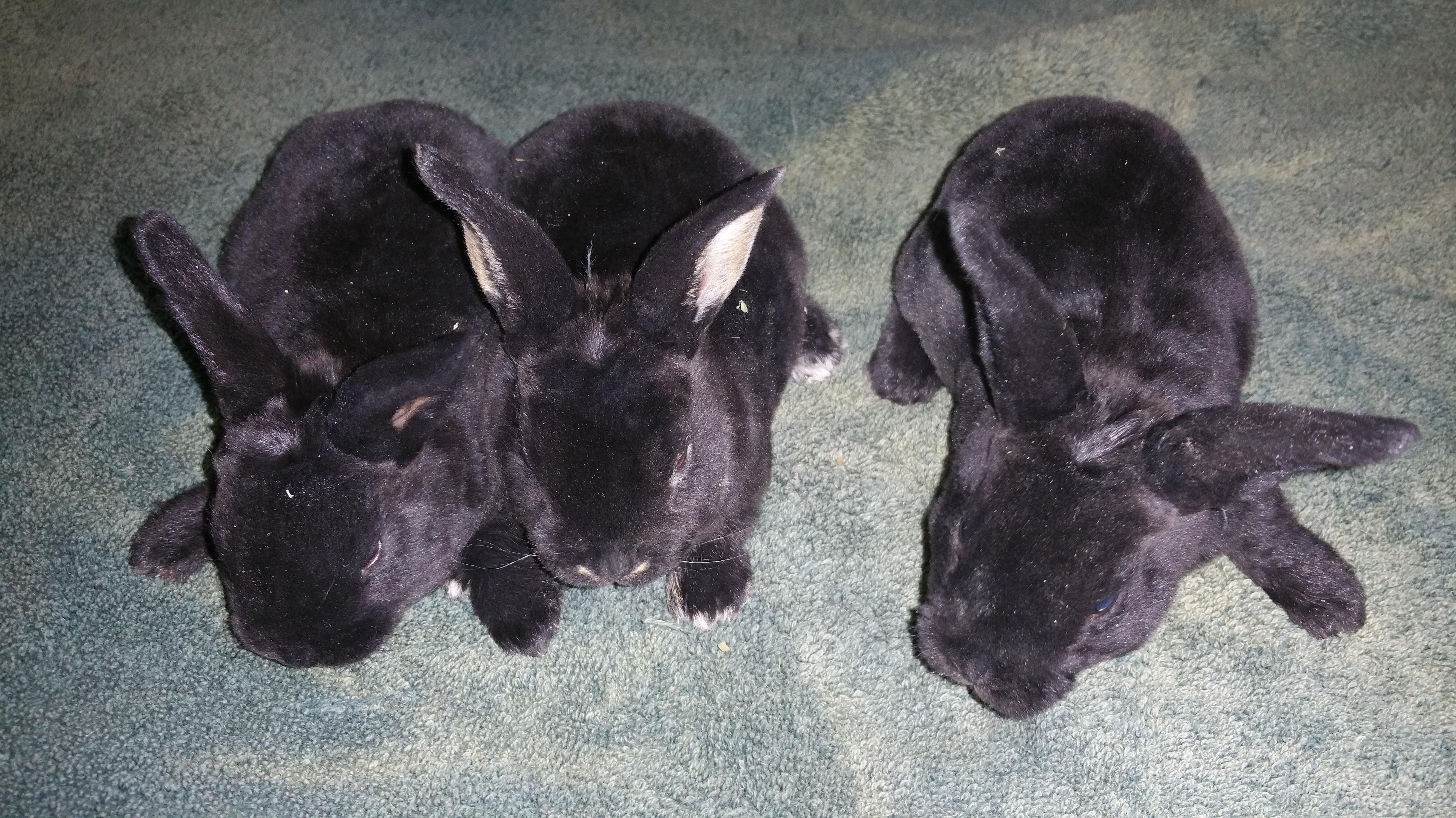 Mini & Standard Rex Rabbits