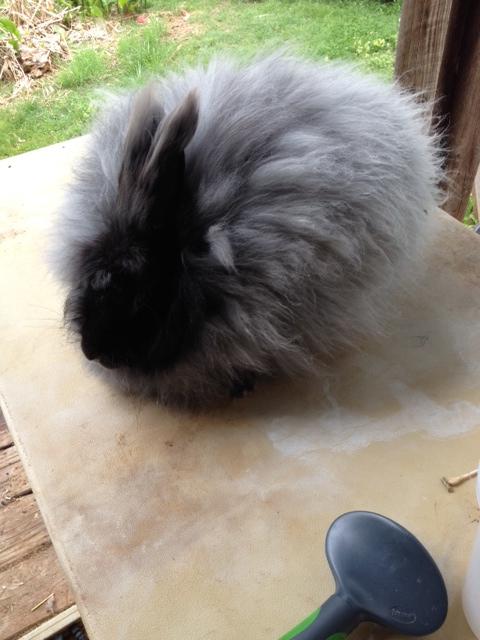 Rare Giant Angora Rabbits