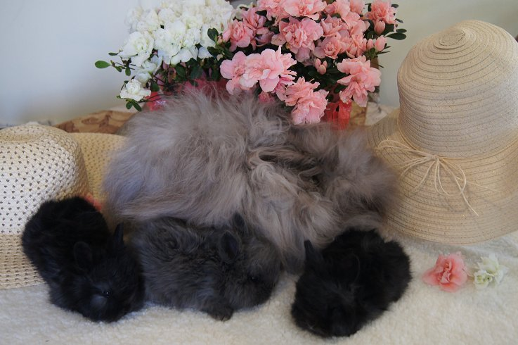English Angora Rabbits