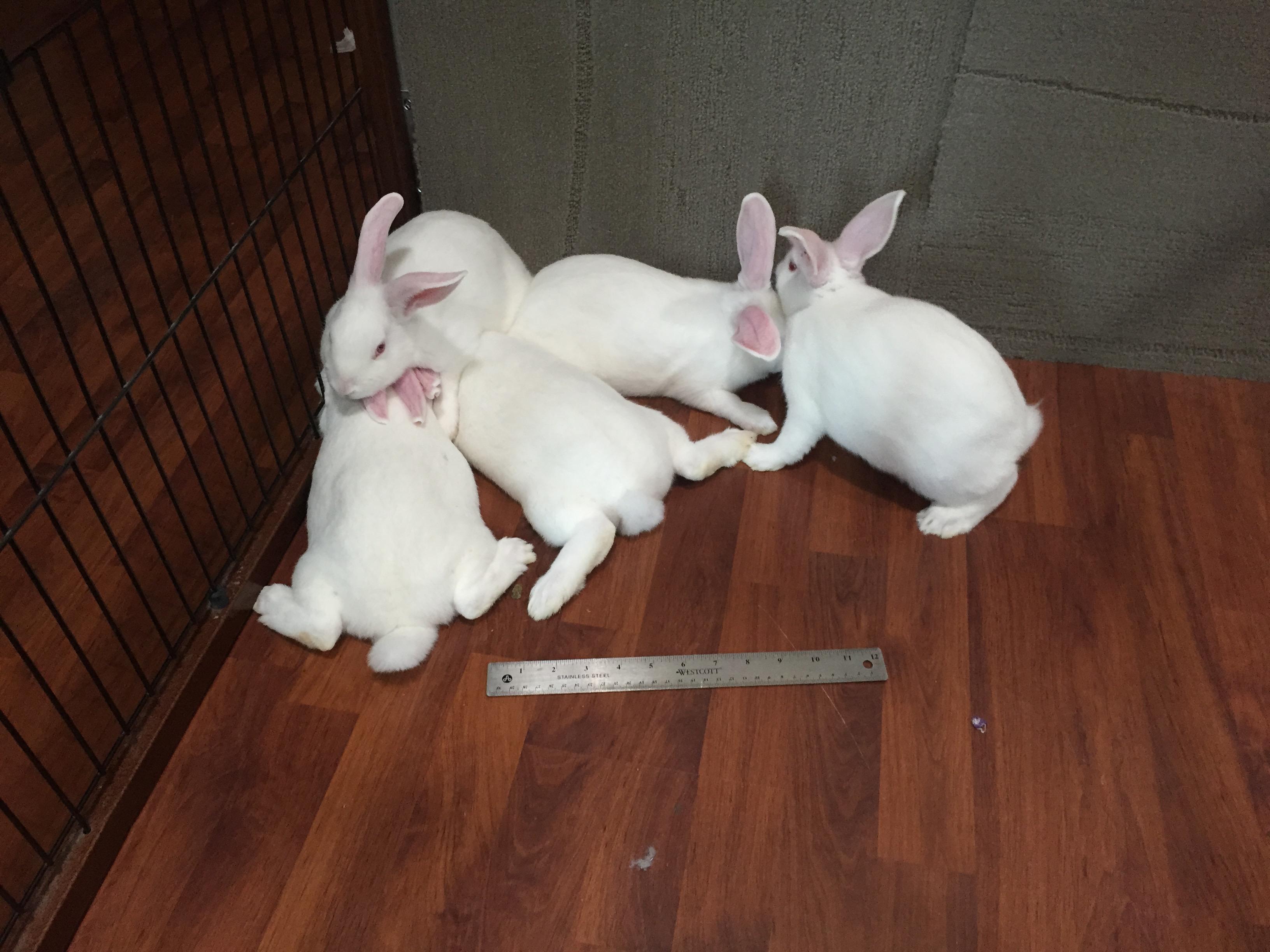 New Zealand RE White Rabbits