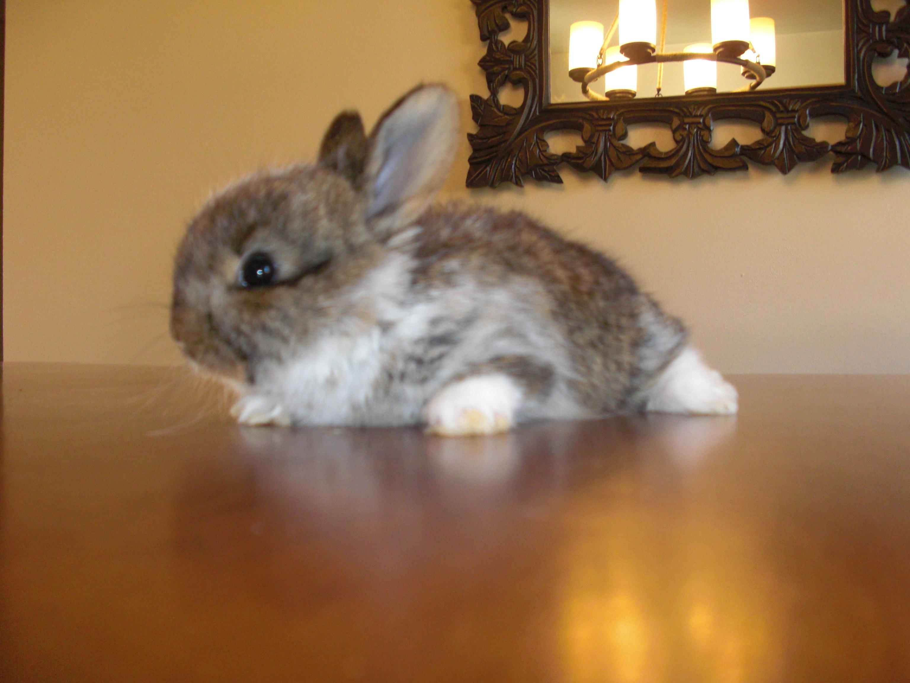 English Angora/Satin angora Rabbits
