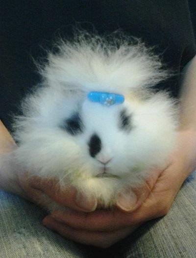 Lionhead Mixes Rabbits