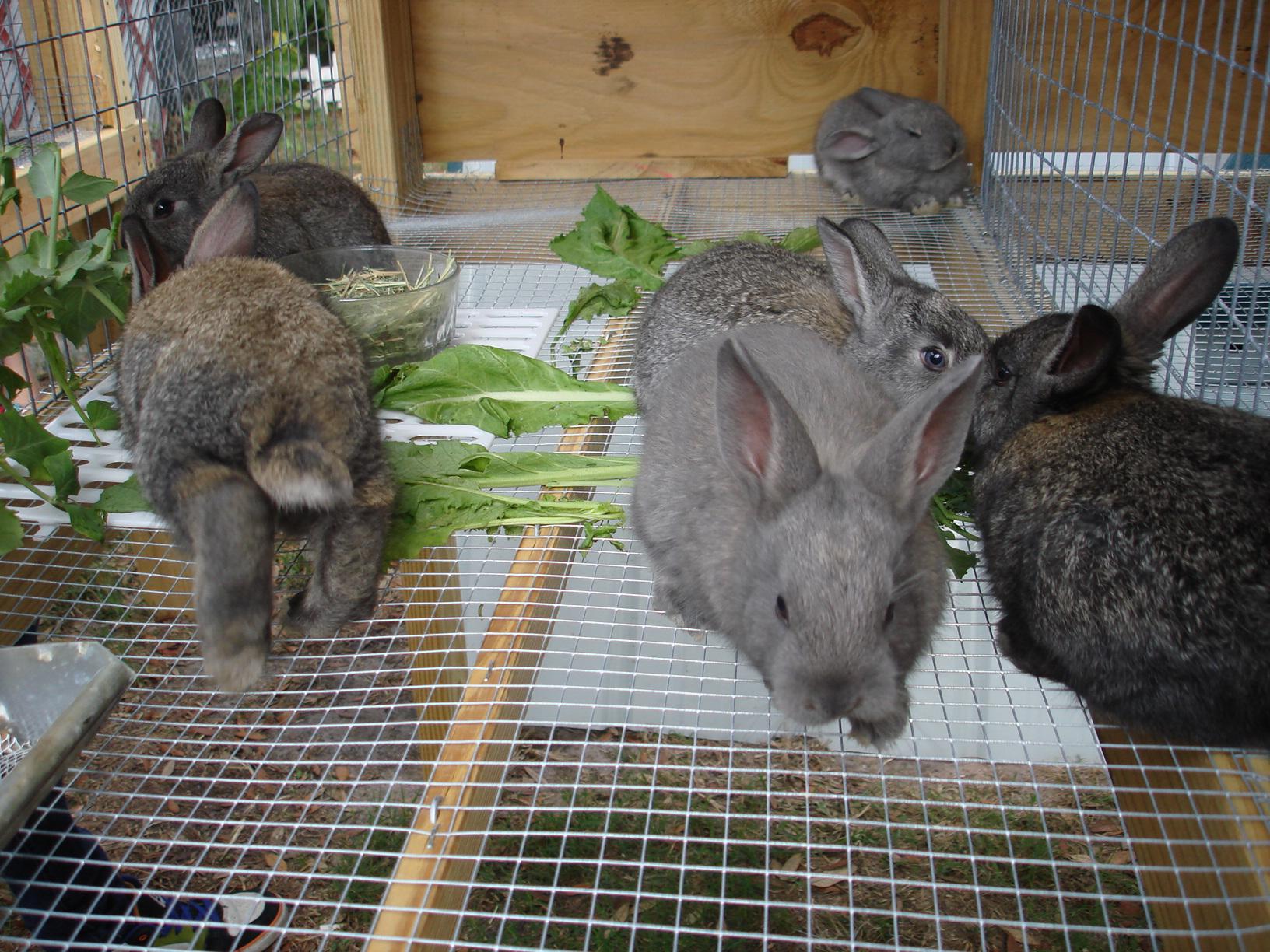 Разведение кроликов в домашних условиях для начинающих 77