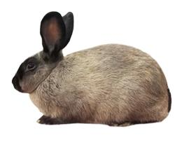 American Sable Rabbit Breed