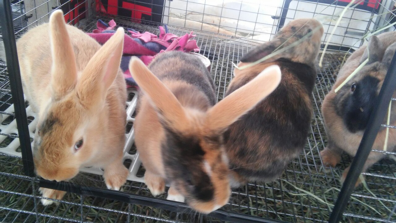 Harlequin Rabbits