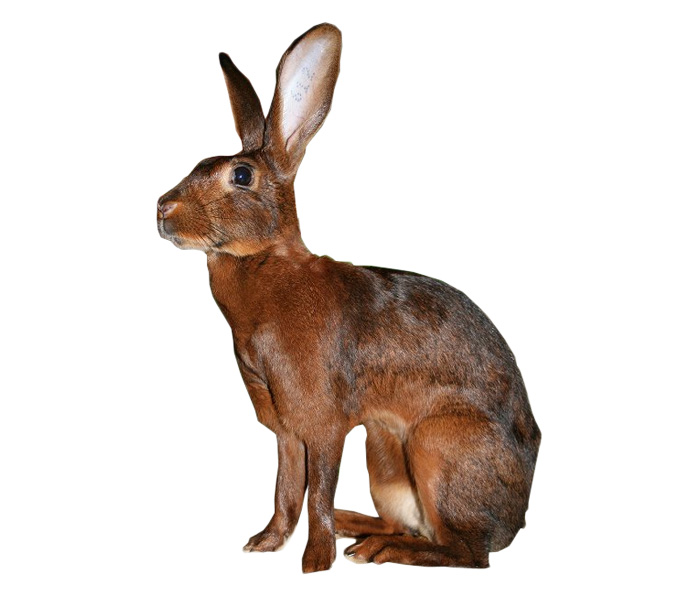 Belgian Hare Rabbit Breed