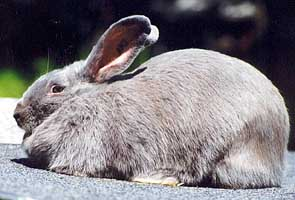 Beveren Rabbit Breed