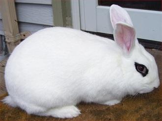 Blanc De Hotot Rabbit Breed