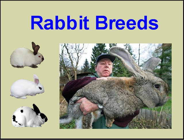 Breeds of Rabbits