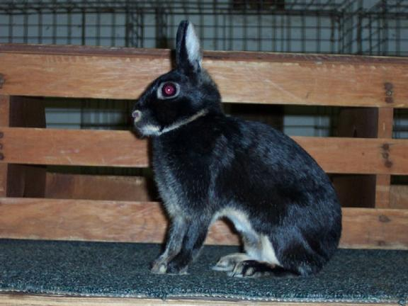 Britannia Petite Rabbit Breed