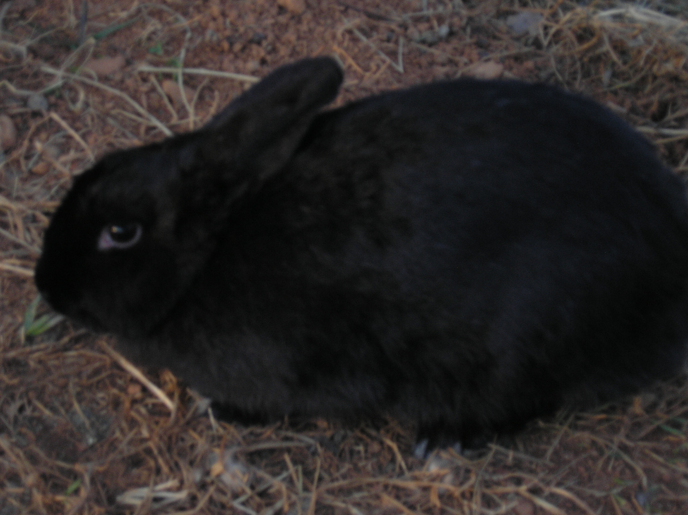 Dwarf rabbit black and white for Old black and white photos for sale