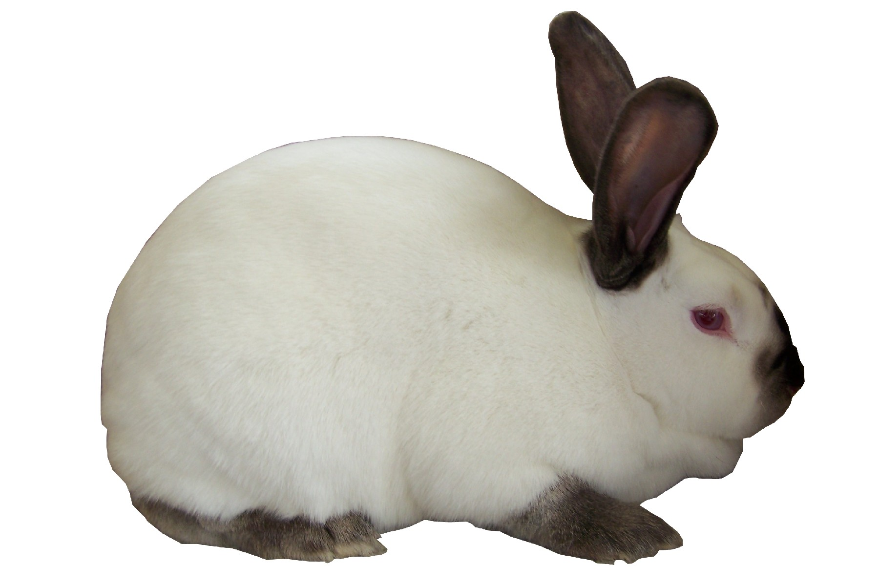 Californian Rabbit Breed