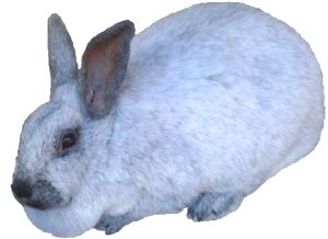 Champagne D' Argent Rabbit Breed