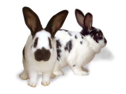 Checkered Giant Rabbit Breed