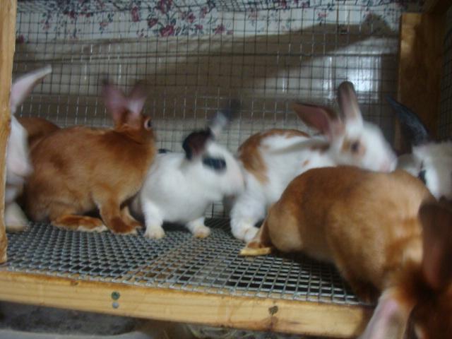 Satins, NZW, Silver Fox, German Angora, German Angora Hybrid Rabbits
