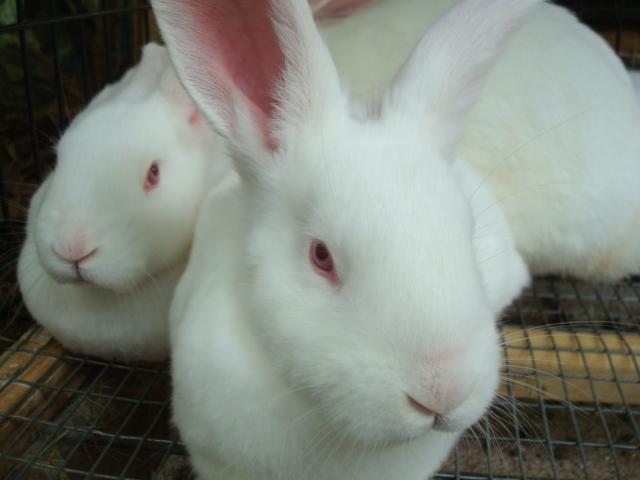 New Zealand White Rabbits in Tallahassee | USA Rabbit Breeders