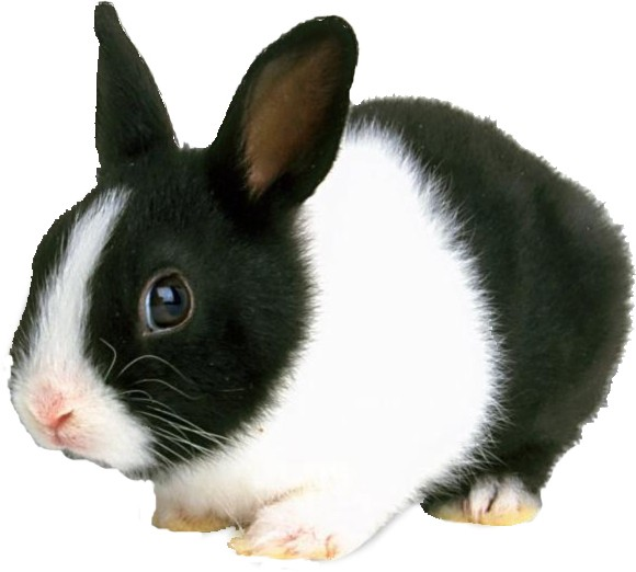 Dutch Rabbit Breed