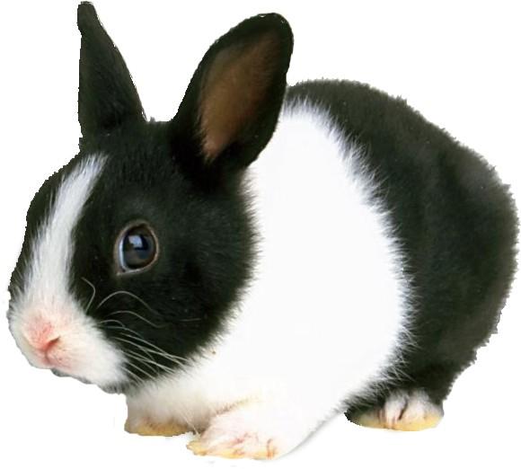 Dutch Rabbits | USA Rabbit Breeders