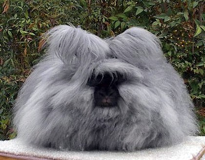 English Angora Rabbit ...