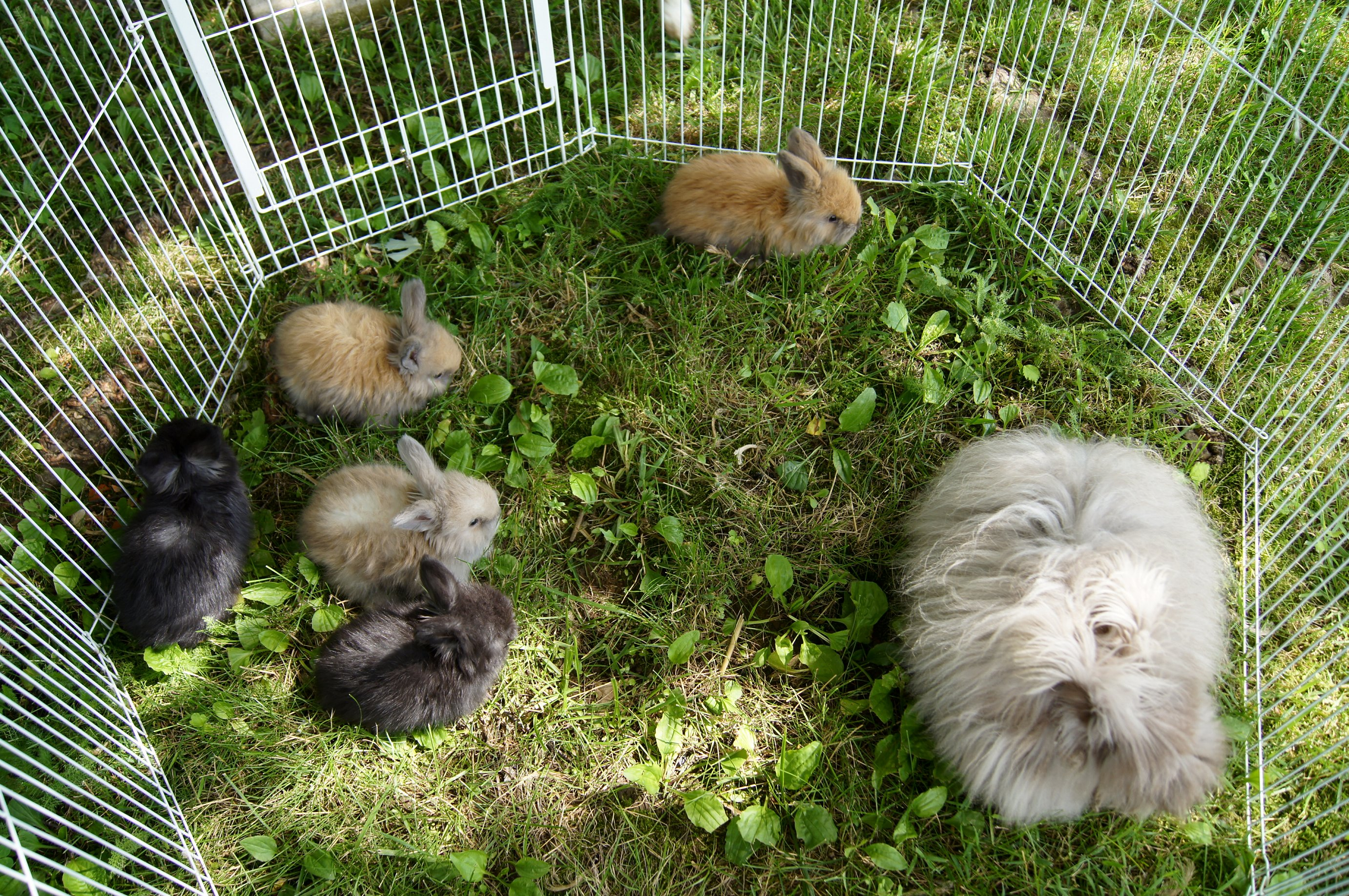 English Angora Rabbits for Sale