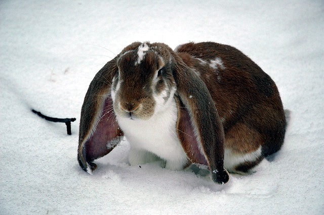 English Lop Rabbit Breed