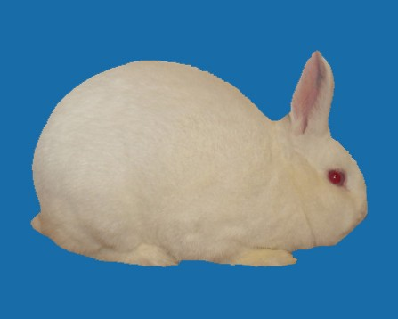 Florida White Rabbit Breed
