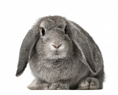 french lop rabbits usa rabbit breeders