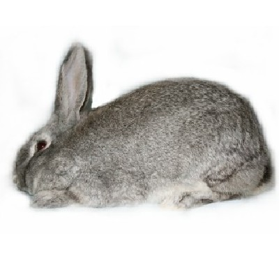 Giant Chinchilla Rabbit Giant Chinchilla Rabbit Breed