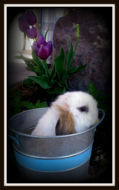 Potty Trained Holland Lop