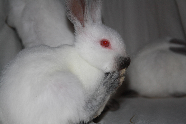 Himalayan Rabbits for Sale