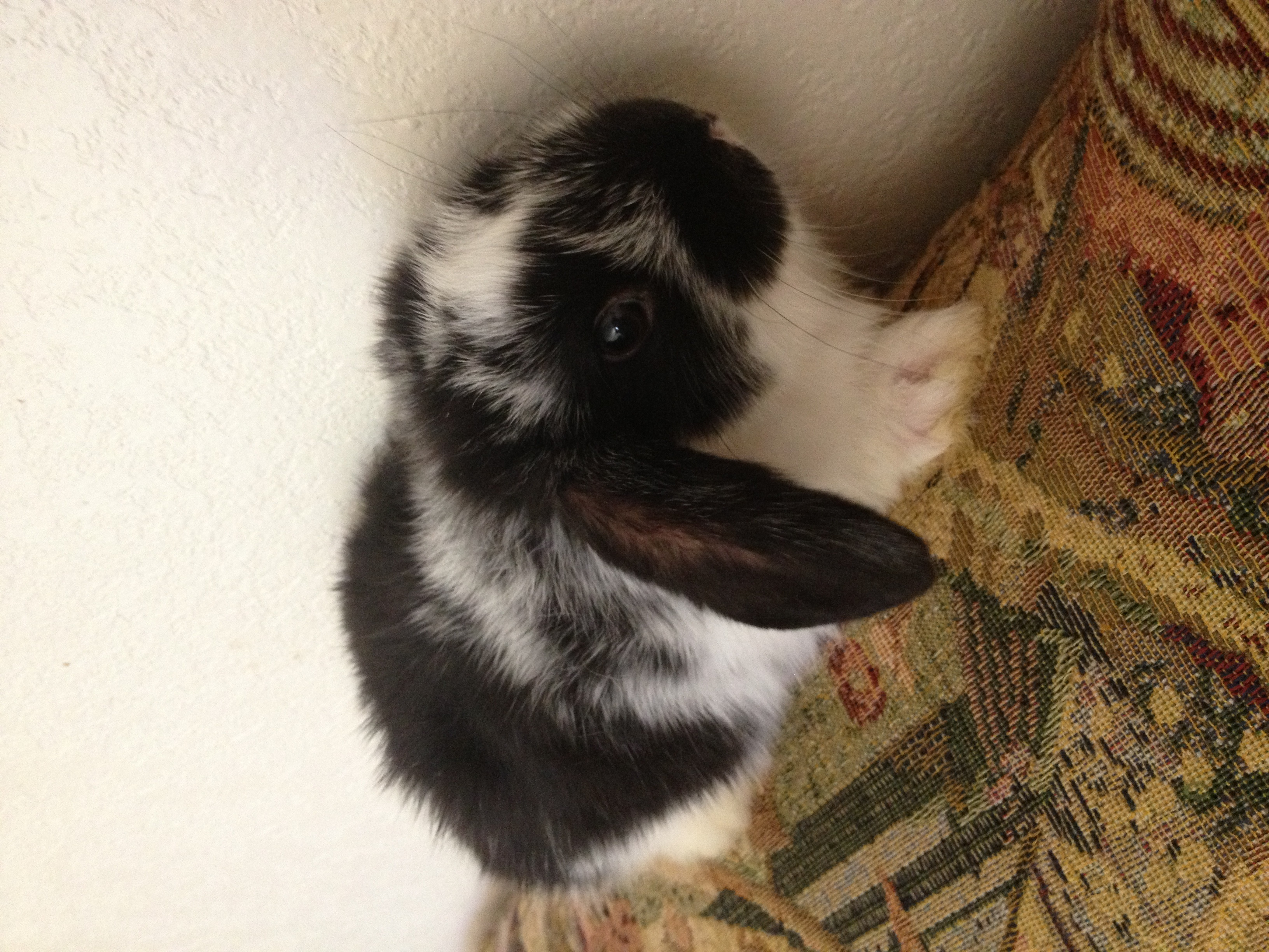 Holland Lop for Sale in CA