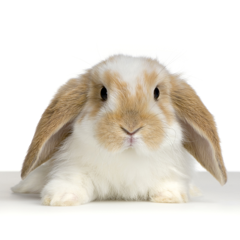 ... HOLLAND LOP RABBIT, THAT WILL WIN HER HEART | USA Rabbit Breeders