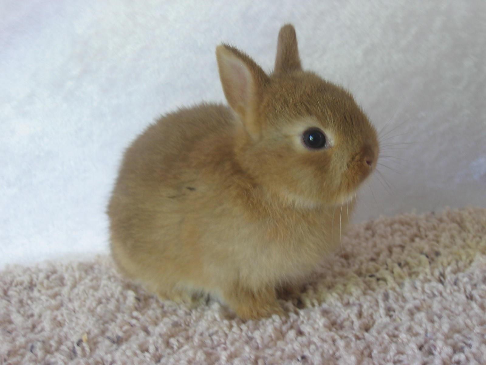 brown dwarf baby rabbits - photo #49