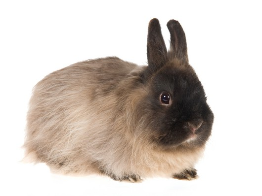Jersey Wooly Rabbit Breed