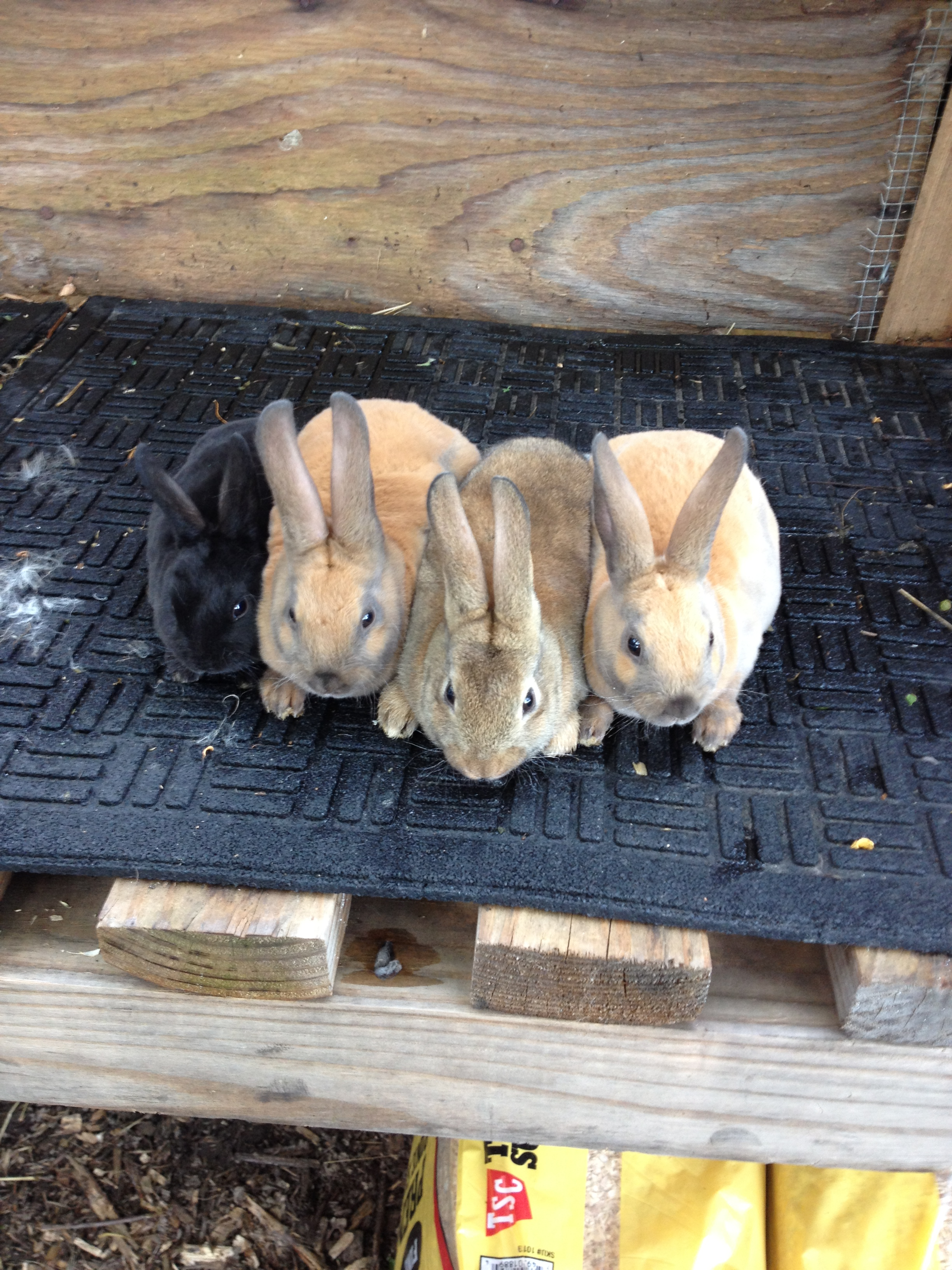 Mini Rex Rabbits