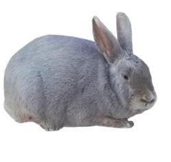 Lilac Rabbit Breed