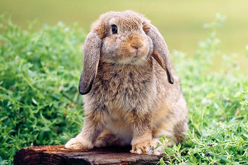 Mini Lop Rabbits | USA Rabbit Breeders