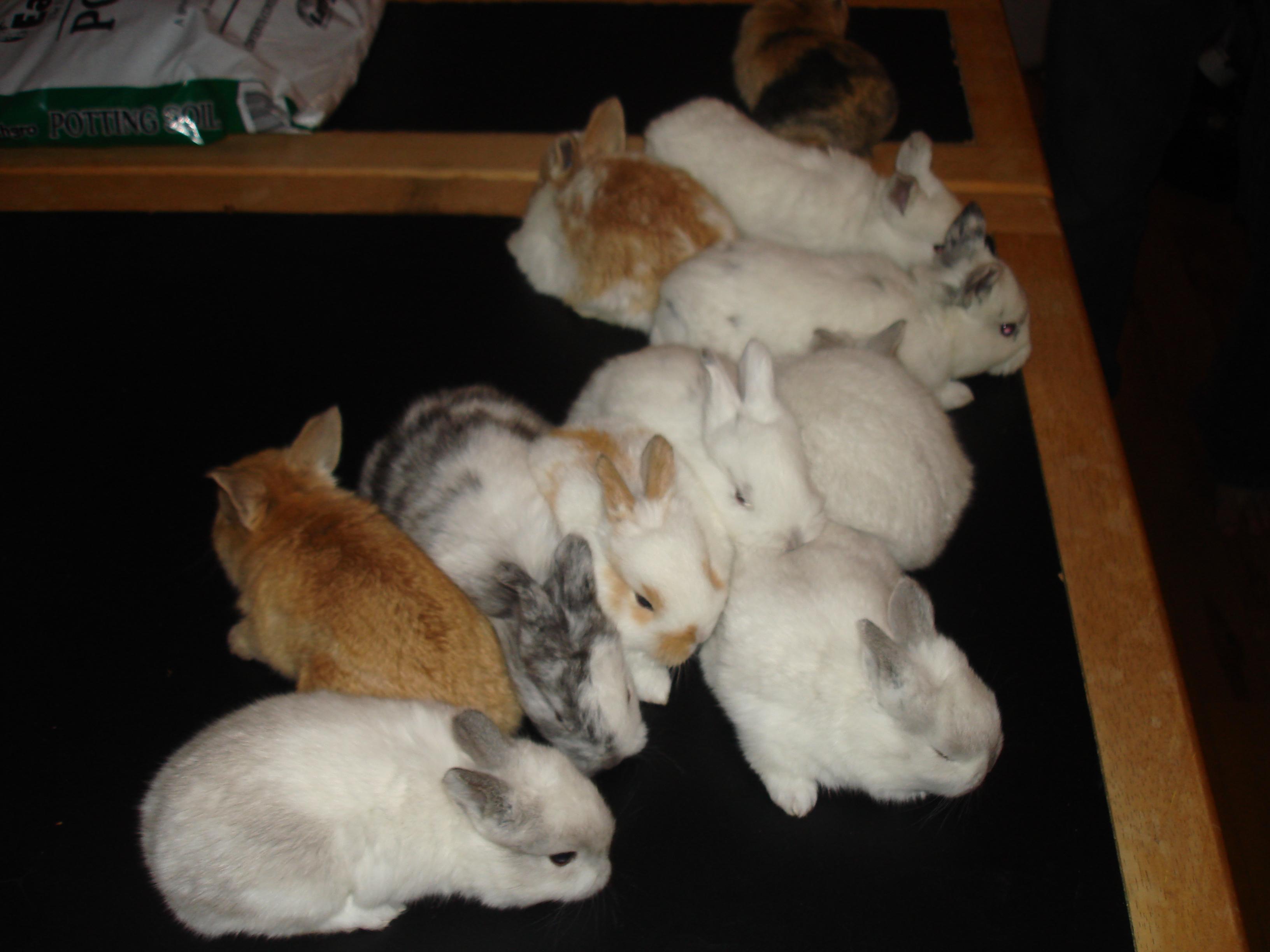 Mini Lop and Silver Fox Rabbits