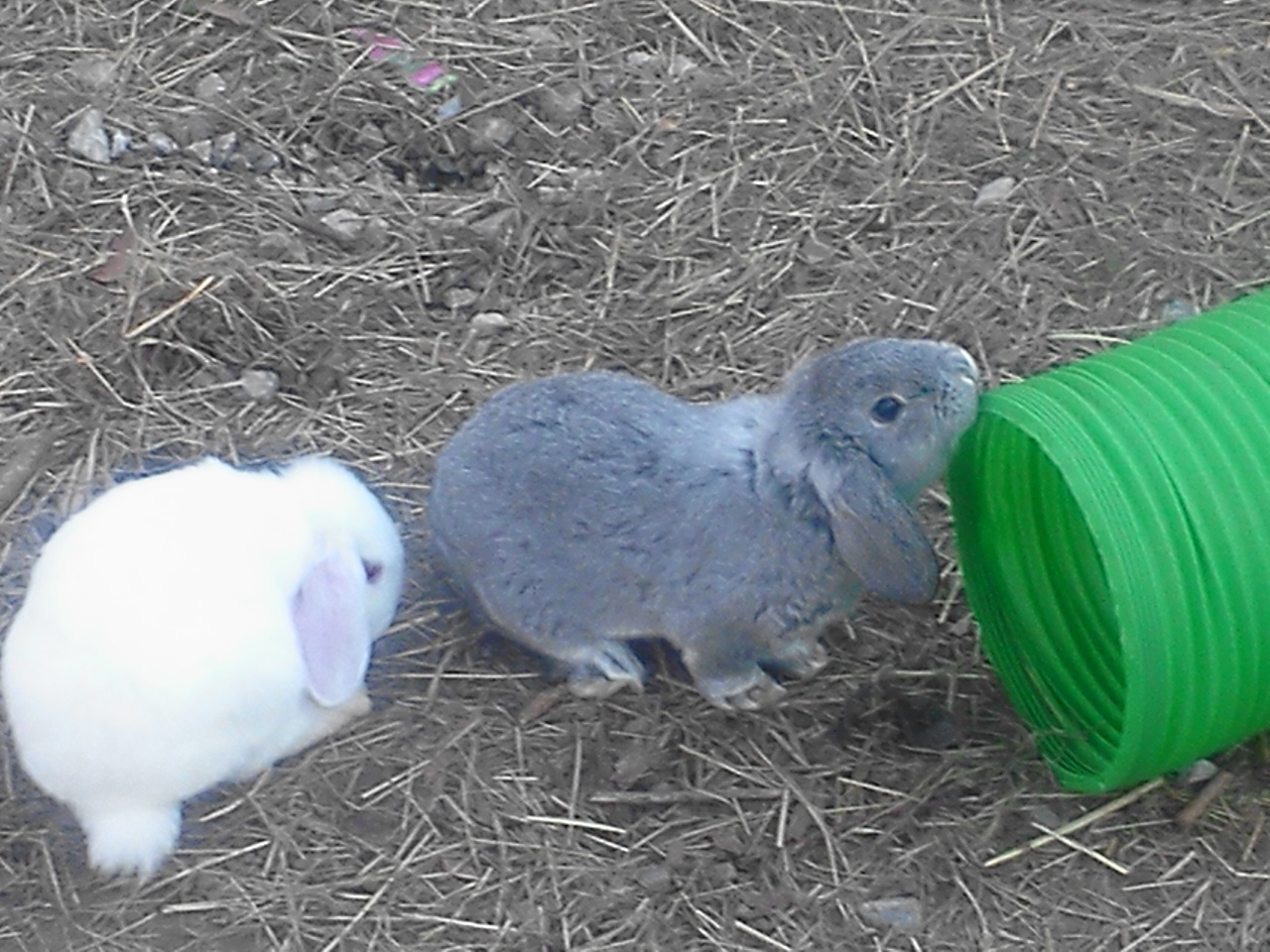 Mini Lops for Adoption