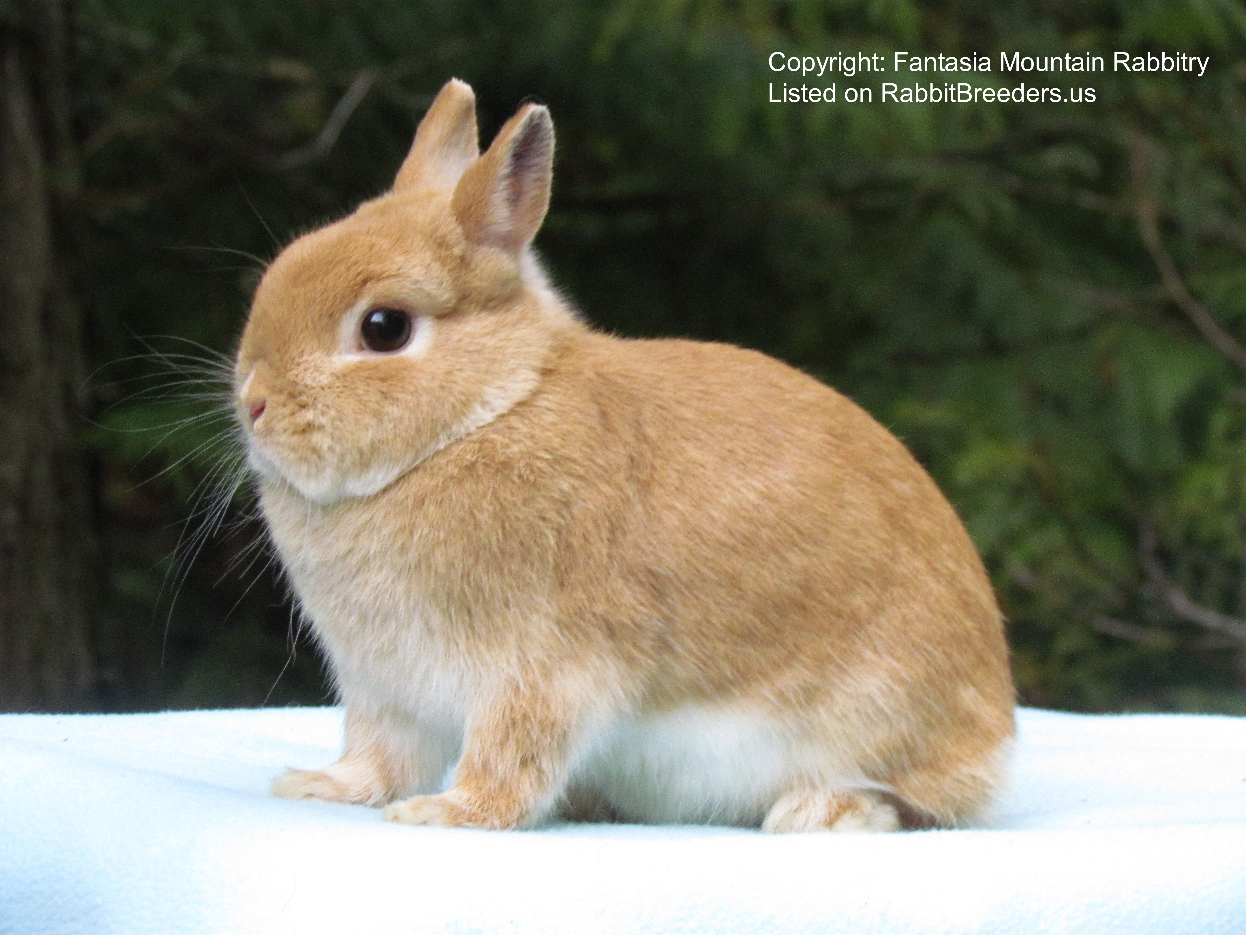 netherland dwarf rabbit photo is of a Sr. Orange Netherland Dwarf doe