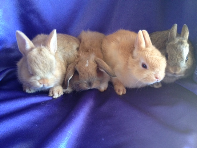 Teacup Bunnies For Sale Netherland dwarf rabbits for