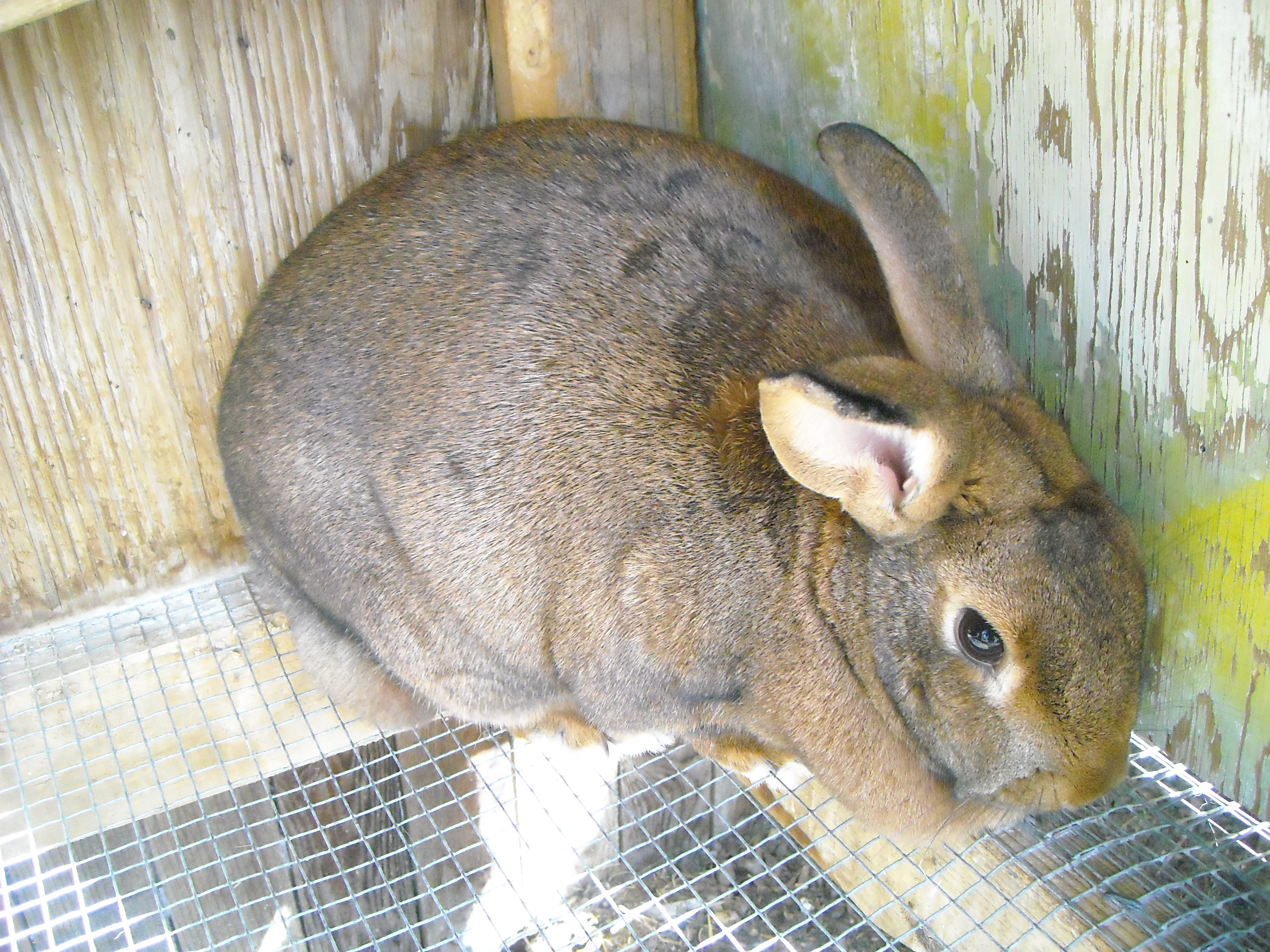 New Zealand Bunnies for Sale