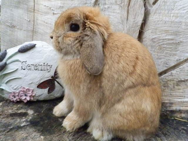 Show Holland Lop