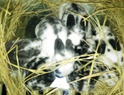 Pedigreed Rex Rabbits for Sale