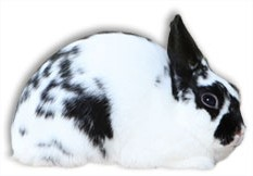 Polish Rabbit Breed
